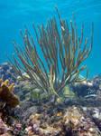 Gorgonian Coral, Cheeca Rocks, Key Largo, Florida