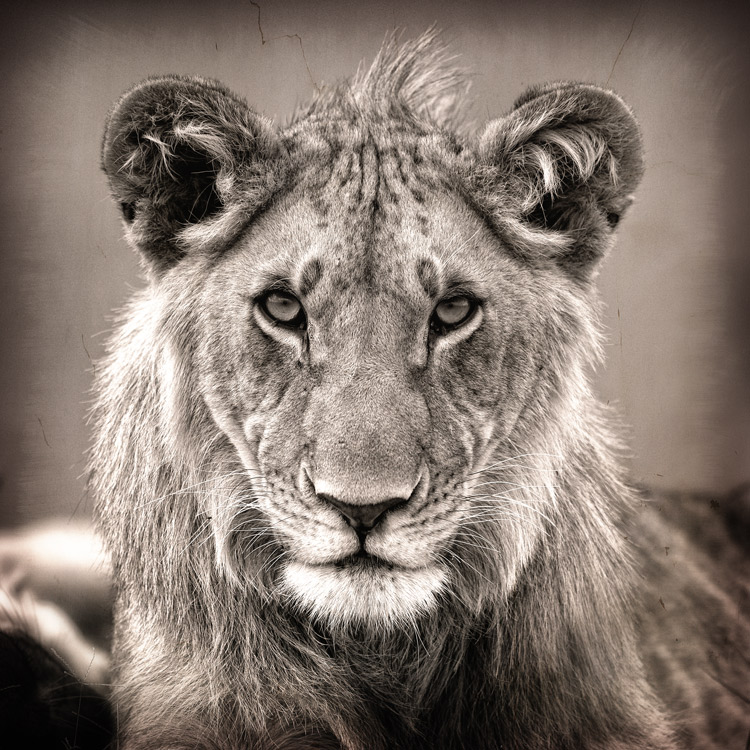 Lion images black and white - photo#23
