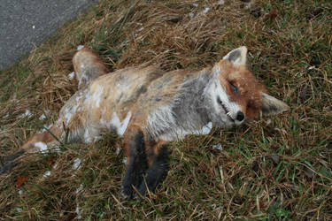 Roadkill fox full by Al-Funcoot
