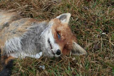 Roadkill fox face by Al-Funcoot