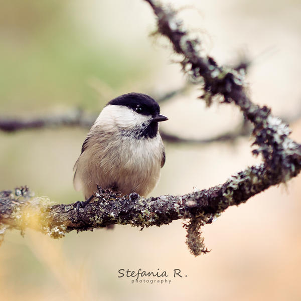 Marsh tit by ~Stefania-R