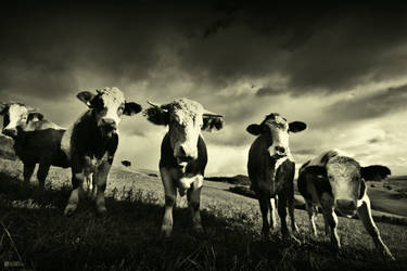 Cows by DREAMCA7CHER