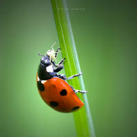 Ladybird In Action