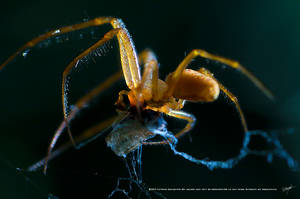 Spiders Prey by DREAMCA7CHER
