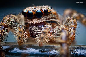 Jumping Spider by DREAMCA7CHER