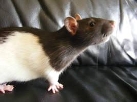 rat by Anouk-van-dijk