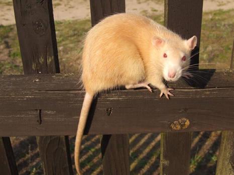 My rat, Szyszka. On a gate.