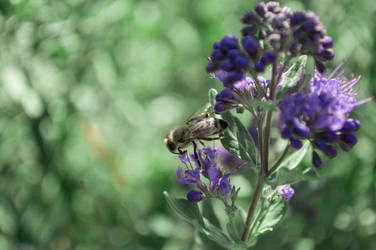 purple bee I by andrea-ioana