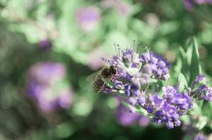 purple bee II