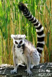 Lemur by NighttCatt