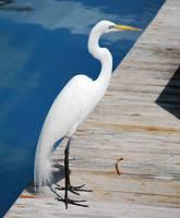 White Heron by SBG-CrewStock