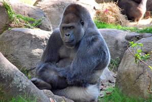 Gorilla 15 by SBG-CrewStock