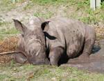 Baby Rhino 1