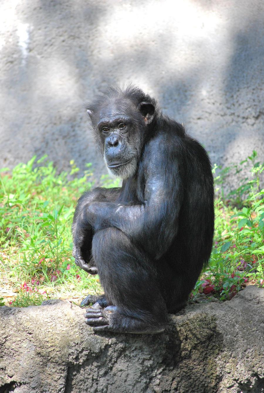 Chimp 12 by SBG-CrewStock