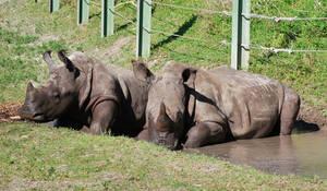 Rhinos - Baby and Mama 1