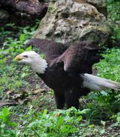 Bald Eagle by SBG-CrewStock