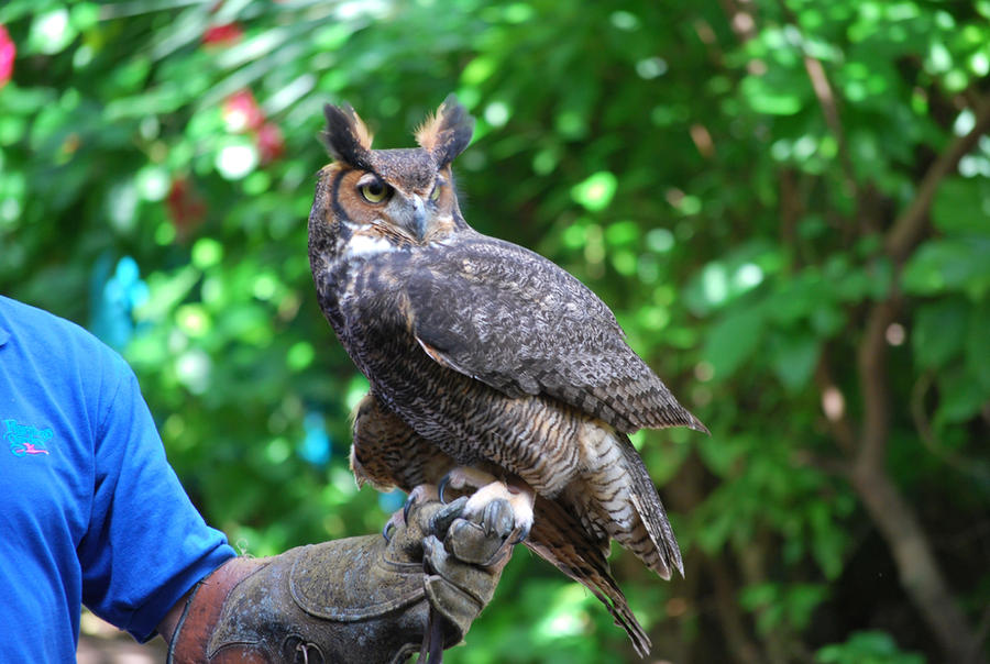 Horned Owl 3 by SBG-CrewStock