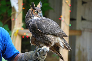 Horned Owl 4 by SBG-CrewStock