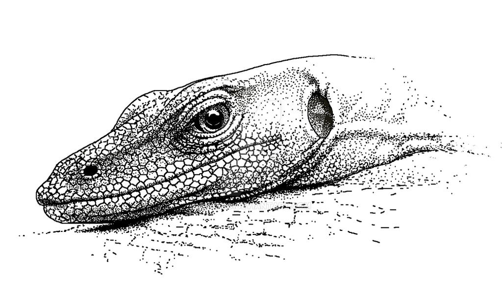 Line Drawing Lizard : Resting monitor lizard by alxbrg on deviantart