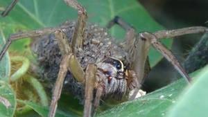 Rabidosa Rabida- Rabid Wolf Spider w/ babies-3