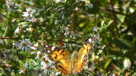 Vanessa cardui: Painted Lady -3 by FordPrefectWonTheBet