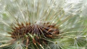 Taraxacum officinale- Common Dandelion