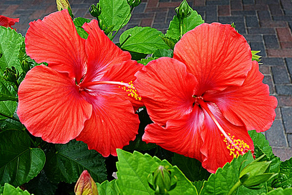 Two Blooming Hibiscus by Calisaroa