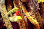 Red Cactus Flower LOMO Effect by Calisaroa