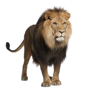 Lion Stock 1 PNG