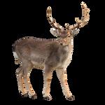 Deer Stock 1 (1-3)