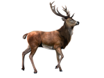 Deer PNG Stock 2 (2-3)