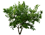 Bush PNG Stock 3