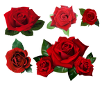 Roses Pack PNG Stock