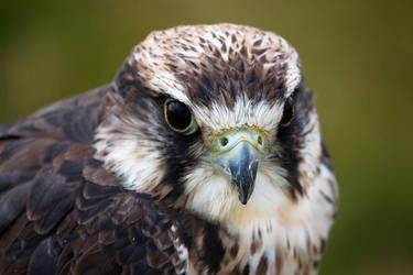 Birds of Prey I by toosas