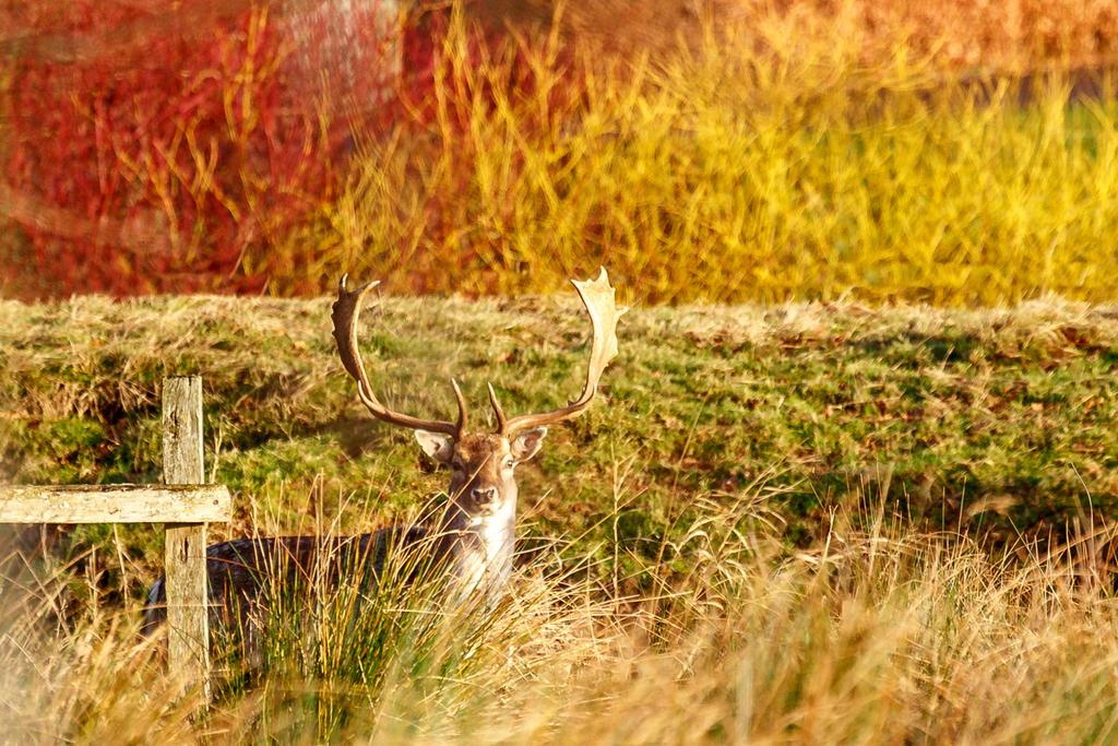 Fallow Deer by toosas