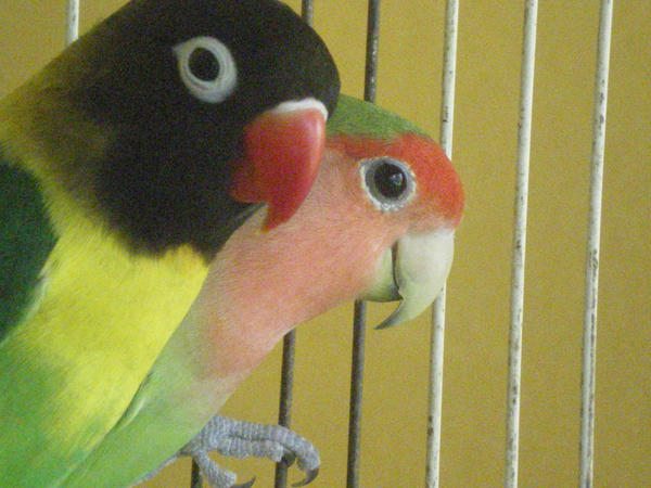 love birds by kironix