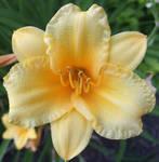 Yellow Lily by JenX-Photo