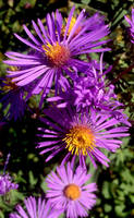 New England Asters by JenX-Photo