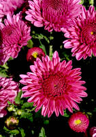 Pink Mums by JenX-Photo