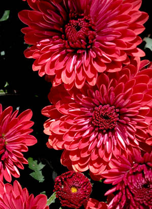 Red Mums 2 by JenX-Photo