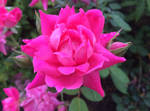 Pink Rose Bloom Water Droplets
