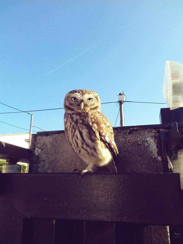 Precious little owl by MaeliDraw