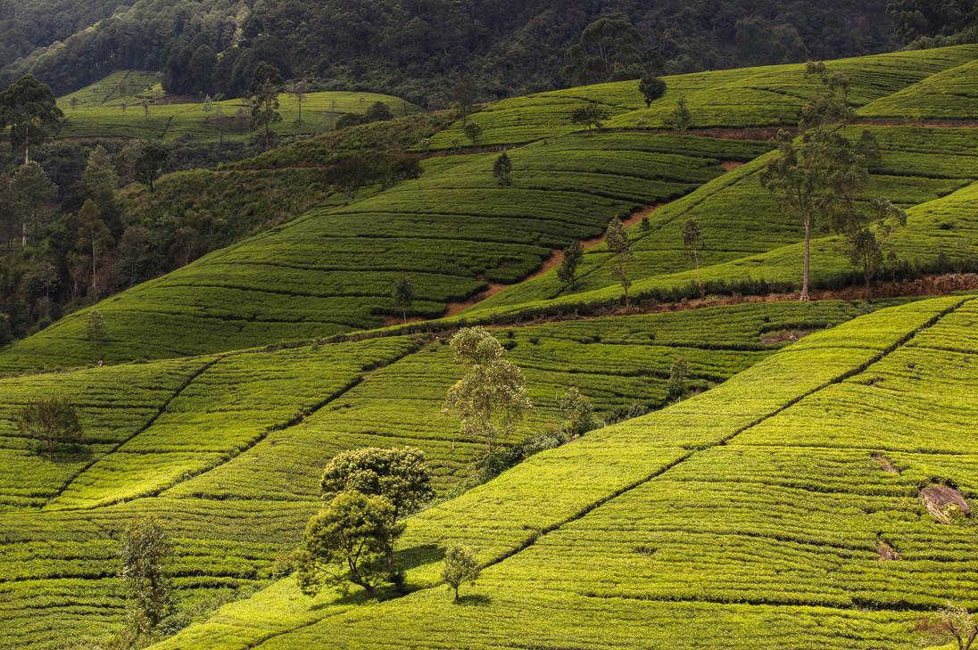 Tea Filelds by mhmalali