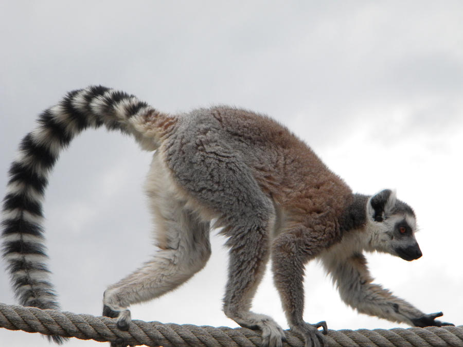 how to draw a ring tailed lemur easy