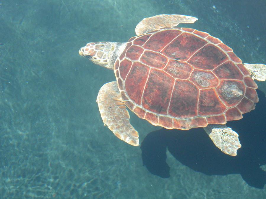 caretta chatrooms Pisciotta, schiusa straordinaria di 30 tartarughe caretta caretta presentato alla  camera dei deputati mari e oceani del presidente della szn, roberto.