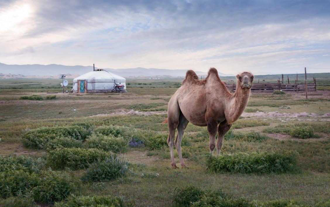 Camel by antiKoerper01