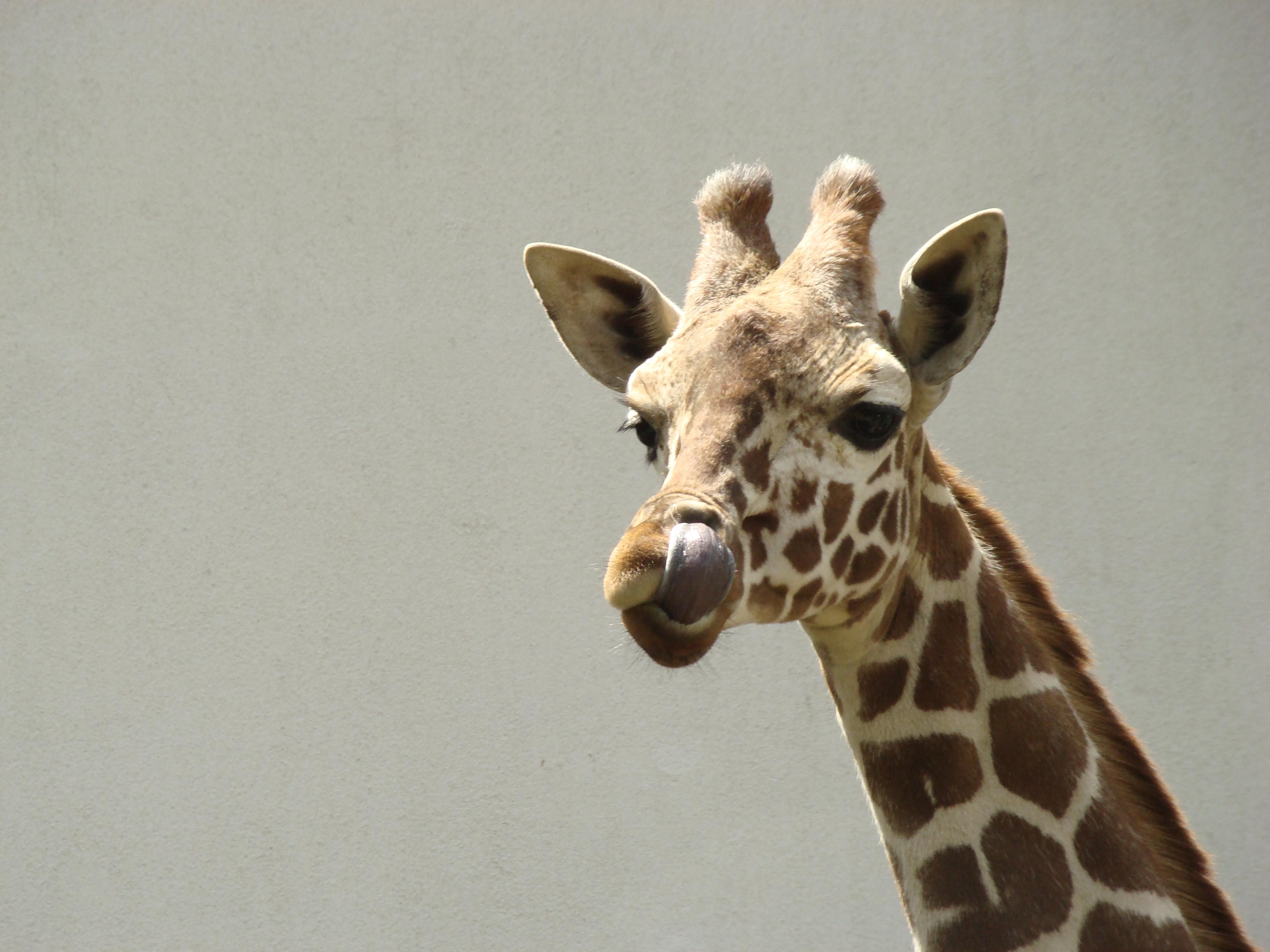 Жираф в картинках приколы