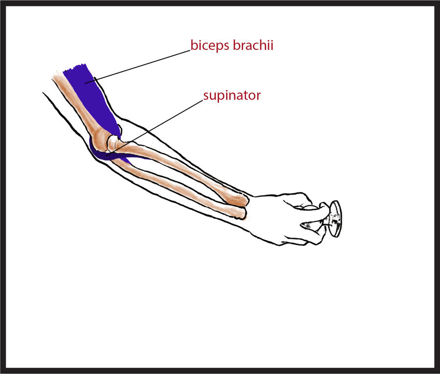 Anatomy: Pronation/Supination Frame 3 by lesseli on DeviantArt