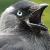 Jackdaw icon 2
