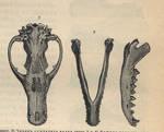 Thylacine skull stock by jennarotancrede